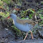 Water Rail Loch Spynie 17 Feb 2017 Gordon Biggs 5