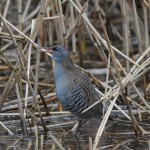 Water Rail Loch Spynie 19 Dec 2014 Gordon Biggs 1