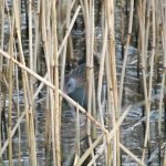 Water Rail Loch Spynie 21 Jan 2017 Lisa Stewart