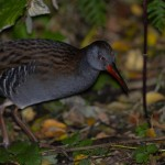 Water Rail Loch Spynie 24 Oct 2013 David Main