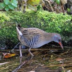 Water Rail Loch Spynie 26 Nov 2014 Gordon Biggs