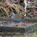 Water Rail Loch Spynie 27 Dec 2013 Gordon Biggs