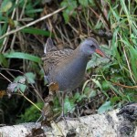 Water Rail Loch Spynie 30 Oct 2014 Gordon Biggs