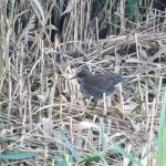 Water Rail Loch Spynie 31 Aug 2016 Lisa Stewart 2