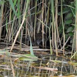 Water Rail Loch Spynie 4 July 2014 Gordon Biggs 1