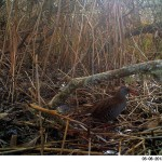 Water Rail Loch Spynie 6 May 2013 David Main