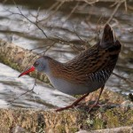 Water Rail Loch Spynie 6 Nov 2013 Gordon Biggs 1