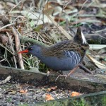 Water Rail Loch Spynie 7 Dec 2013 Gordon Biggs