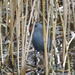 Water Rail Loch Spynie 7 Dec 2016 Lisa Stewart