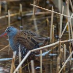 Water Rail Loch Spynie 8 Dec 2014 David Main