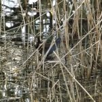 Water Rail Loch Spynie 8 Jan 2017 Lisa Stewart