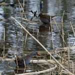 Water Rail, Loch Spynie 9 Jan 2015 (Gordon Biggs)