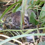 Water Rail juv Loch Spynie 20 Aug 2013 Gordon Biggs 1