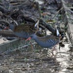 Water Rails Loch Spynie 7 Jan 2014 Gordon Biggs1
