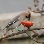 Waxwing Elgin 21 Feb 2017 David Main