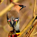 Waxwing Elgin 21 Mar 2013 David Main 31
