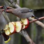Waxwings Bishopmill 25 March 2013 David Main1