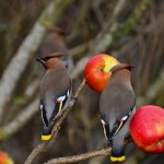 Waxwings Bishopmill 26 March 2013 David Main