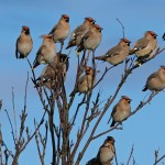 Waxwings Cummingston 23 Jan 2013 Tony Backx