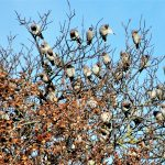 Waxwings Elgin 16 Nov 2016 Alan Price 1