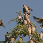 Waxwings Elgin 18 Nov 2016 David Main 1