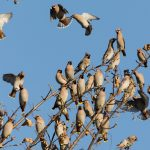 Waxwings Elgin 21 Nov 2016 David Main 1