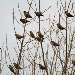 Waxwings Elgin Golf Clubhouse 11 Dec 2013 Gordon Biggs