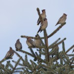 Waxwings Findhorn 11 Jan 2013 Richard Somers Cocks 1