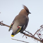 Waxwings Findhorn 11 Jan 2013 Richard Somers Cocks 2