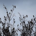 Waxwings Forres 12 Nov 2016 Norman London 1