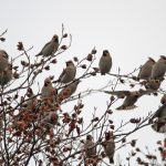 Waxwings Forres 13 Nov 2016 Gordon Biggs 1