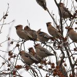 Waxwings Forres 13 Nov 2016 Gordon Biggs 5