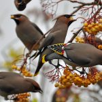 Waxwings Forres 13 Nov 2016 Gordon Biggs 7