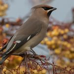 Waxwings Forres 15 Nov 2016 Mike Crutch 2