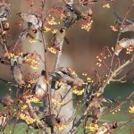 Waxwings Forres Enterprise Park 25 Nov 2016 Richard Somers Cocks 2