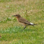 Wheatear Burghead 13 Sept 2013 David Law