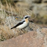 Wheatear Burghead 17 Apr 2013 Gordon Biggs 2
