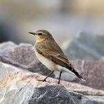 Wheatear Burghead 27 Aug 2017 Gordon Biggs 1