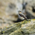 Wheatear Cummingston 1 May 2017 Alison Ritchie