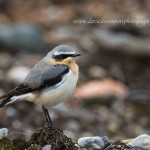 Wheatear, Dava 17 Apr 2015 (David Devonport)