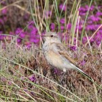 Wheatear Findhorn 28 Jul 2016 Richard Somers Cocks P
