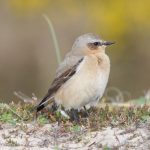 Wheatear Findhorn 7 May 2018 Richard Somers Cocks