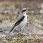 Wheatear Findhorn 8 Apr 2016 Richard Somers Cocks