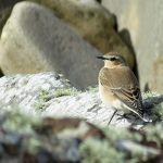 Wheatear Hopeman 30 Aug 2016 Alison Ritchie P