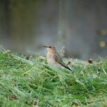 Wheatear Kinloss 22 Sep 2017 Allan Lawrence