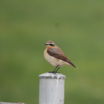 Wheatear Kinloss 29 Apr 2014 Allan Lawrence