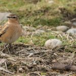 Wheatear Lossie estuary 11 Oct David Main P
