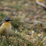 Wheatear Lossie estuary 13 Apr 2014 David Main