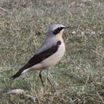Wheatear Lossie estuary 14 Apr 2014 Grahame Anderson