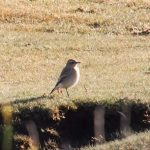 Wheatear Lossie estuary 19 Sep 2016 Lisa Stewart